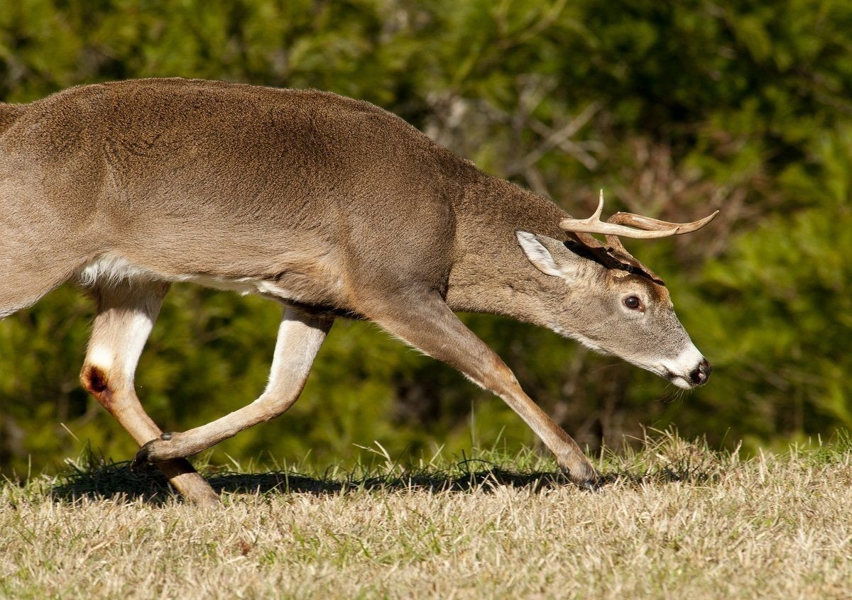 2016 Rut Forecast | Hunting, Hunting Tips, Turkey Hunting-Deer And Deer Hunting Rut Forecast Nys