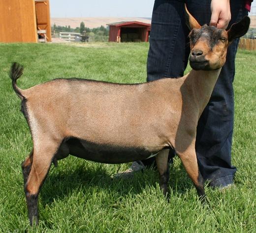 2021 Breeding Schedule - Graniteacres Nigerian Dwarf Goats-Md Deer Rut 2021
