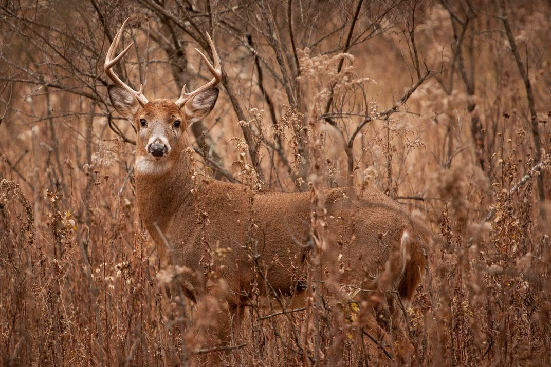 A Whitetail Buck During Rut, Keeping An Eye On His Doe! | Smithsonian Photo Contest-Whitetail Rut In Wisconsin