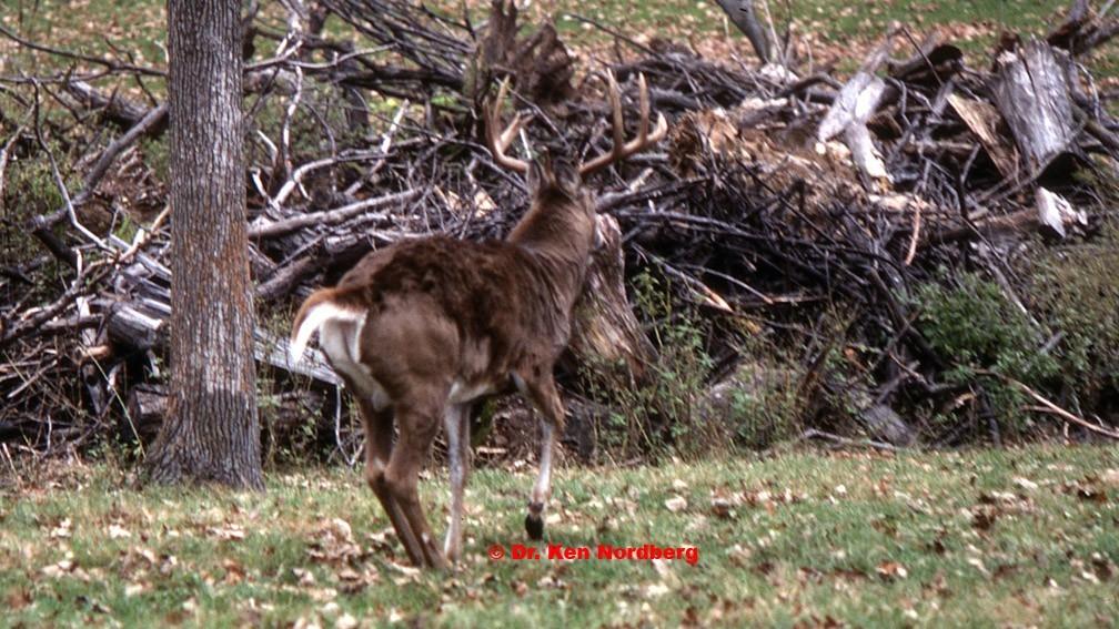 A Whitetail Buck's Calendar For Fall & Early Winter – Part V – Dr Nordberg On Deer Hunting-Deer Rut Mn 2021