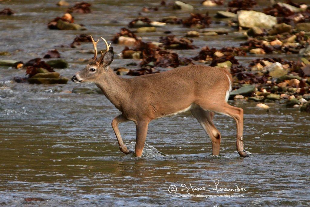 """Natural World"" Through My Camera: 2018 Deer Rut Follow Up-Maryland Deer Rut 2021"