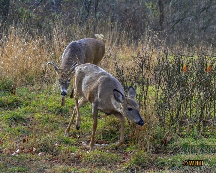 Pennsylvania Wildlife Photographer: More Whitetail Rut Images-Whitetail Rut In Pa 2021