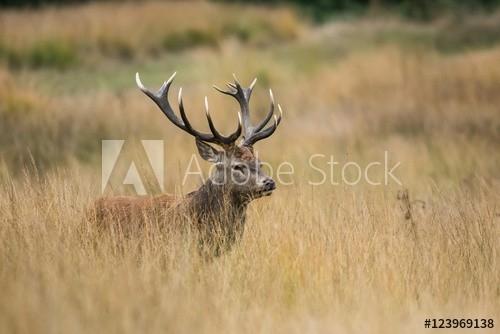 """Red Deer, Deer, Cervus Elaphus - Rut Time."" Fotos De Archivo E Imágenes Libres De Derechos En-Louisiana Deer Rut Times"