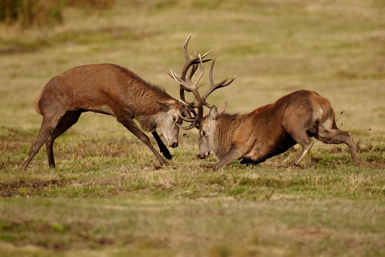 Red Deer Rut 2018-2021 Whitetail Rut Calendar