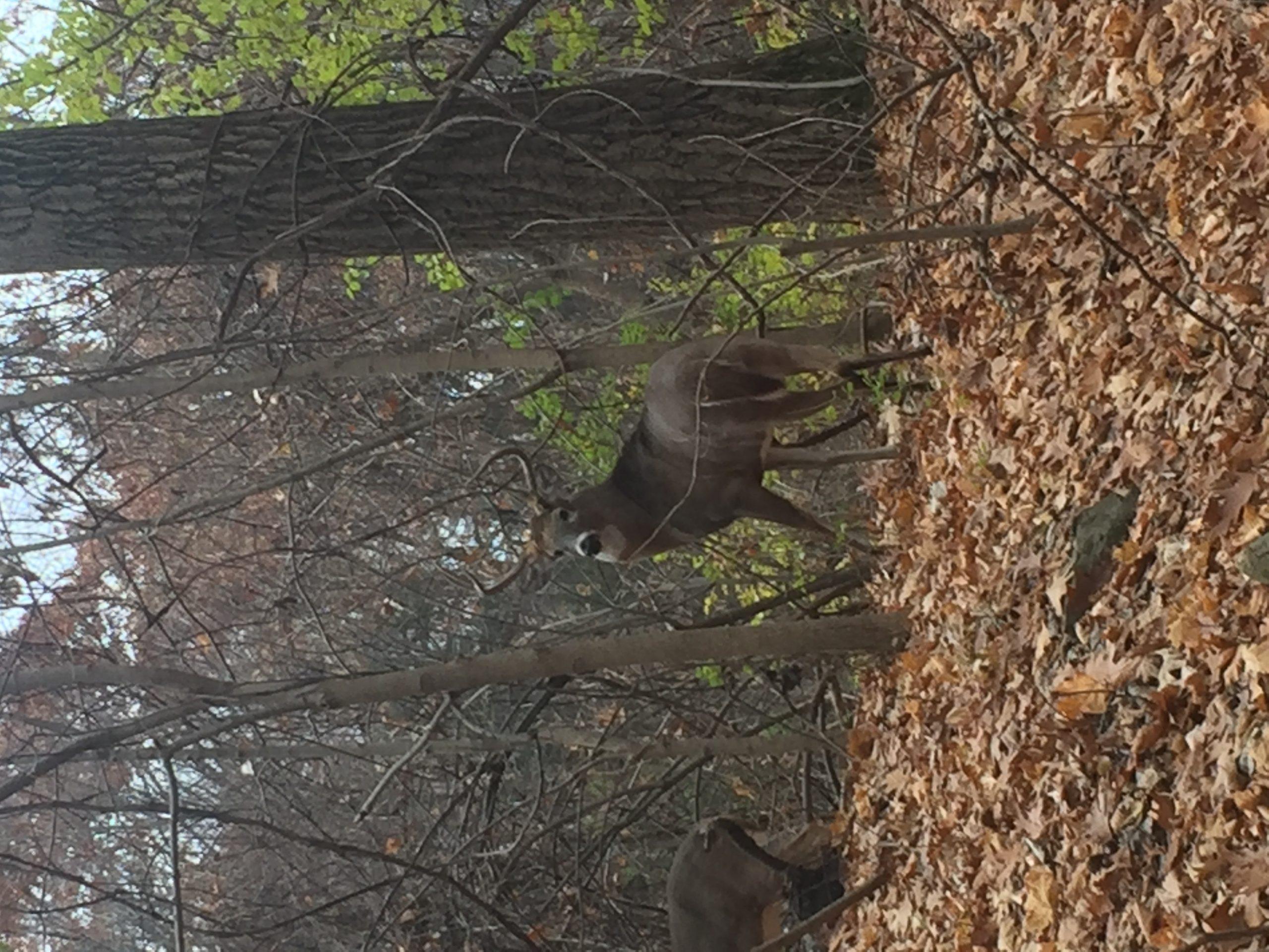 Rut Status Southern Zone - Page 4 - Deer Hunting - Hunting New York - Ny Empire State Hunting-Southern Maryland Whitetail Deer Rut