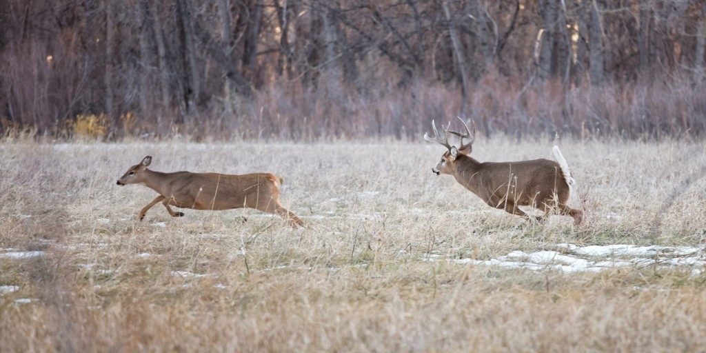 Secrets Of The Rut: Whitetail Deer Role Reversal-When Is 2021 Whitetail Rut Predicted
