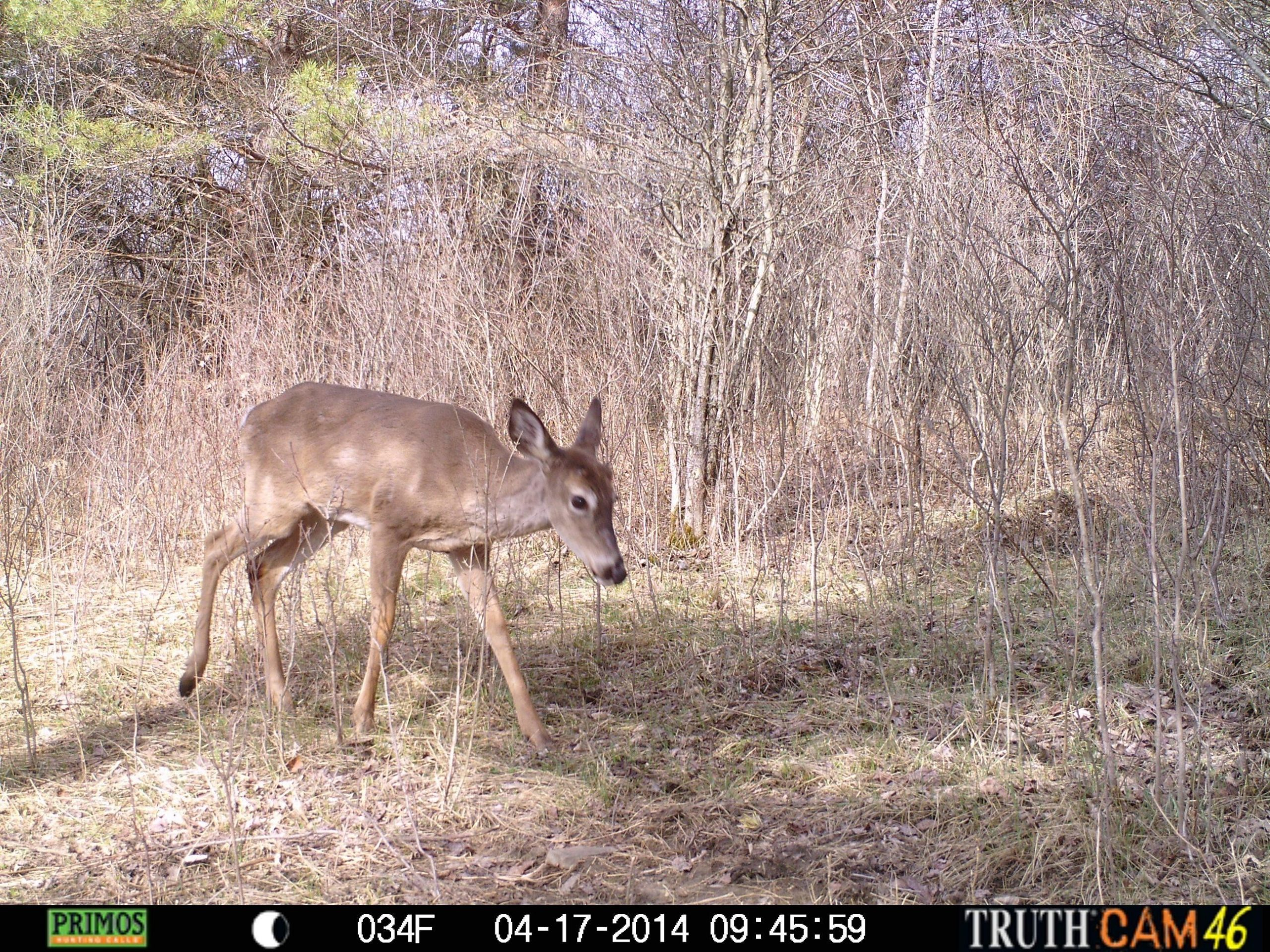 The 2014 Whitetail Rut Prediction - Sports - The Wellsville Daily Reporter - Wellsville, Ny-Whitetail Rut Predictions For 2021
