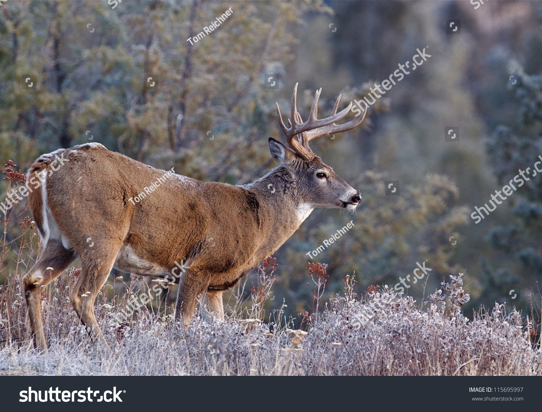 Whitetail Buck Deer Stag Adirondack Mountains Stock Photo 115695997 - Shutterstock-2021 Nys White Tail Rut