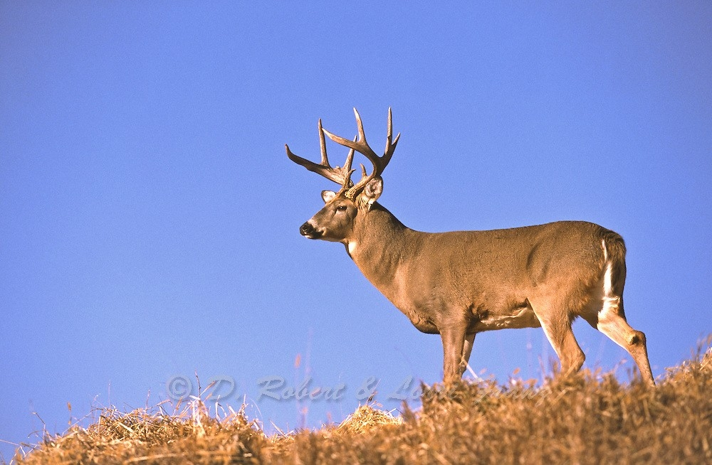 Whitetail Buck During The Autumn Rut In Minnesota   Yellowstone Nature Photography By D. Robert-Deer Rut Mn 2021