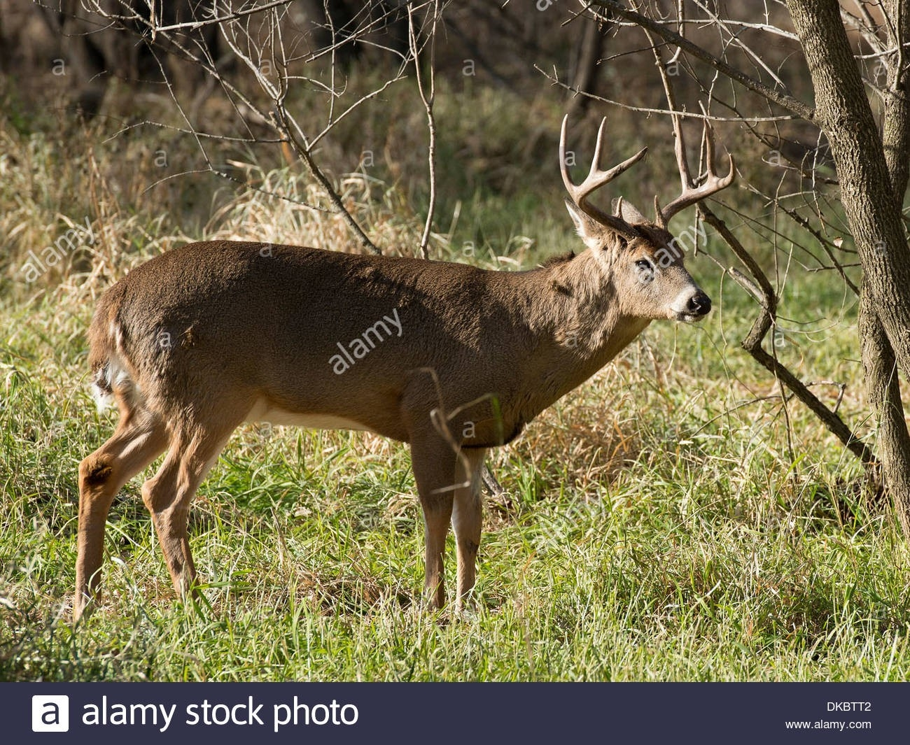 Whitetail Buck During The Rut In Minnesota Stock Photo: 63570530 - Alamy-Deer Rut Mn 2021