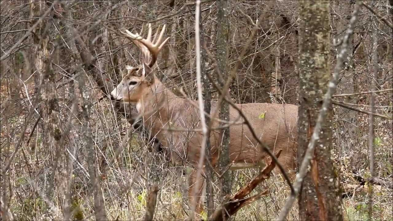 Whitetail Deer Buck Trashes Downed Tree During Rut - Youtube-Southern Maryland Whitetail Deer Rut