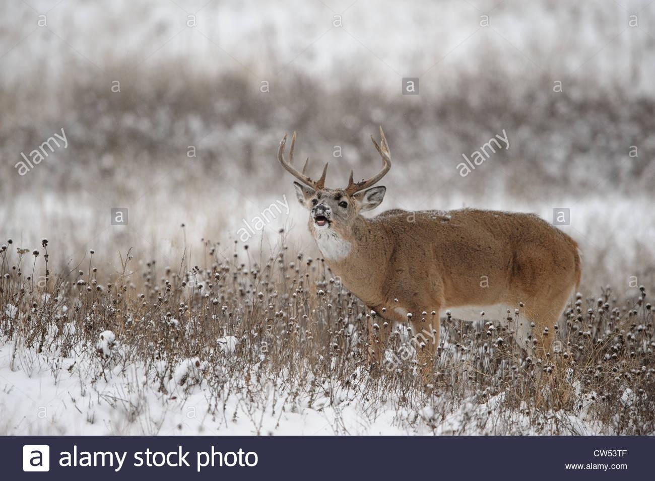 Whitetail Deer Snow Stock Photos & Whitetail Deer Snow Stock Images - Alamy-2021 Nys White Tail Rut