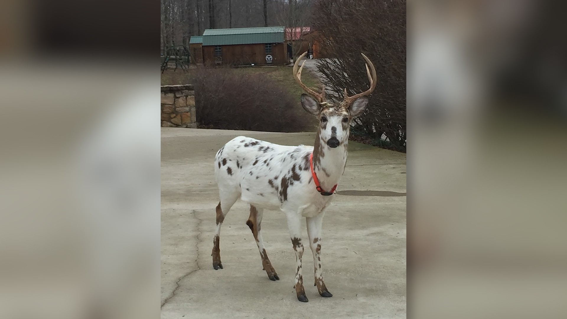 Rare West Virginia Deer Harvest Sparks Major Controversy-Virginia Whitetail Rut 2021