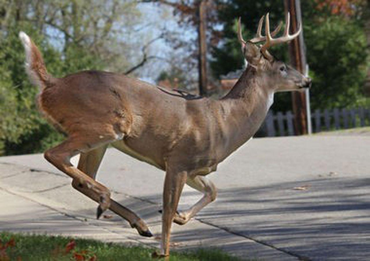 Southwest Michigan Deer Rut Activity Peaks, Whitetails-2021 Michigan Deer Rut